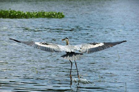 Blue Heron flying over a lake near boats Stock Photo
