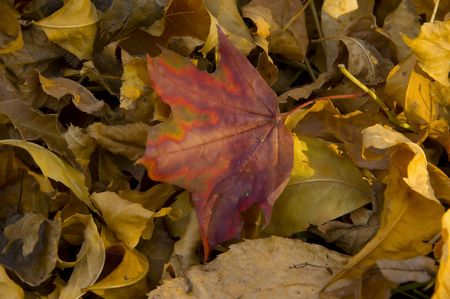 Colourful Autumn Leaf among dry fallen autumn leaves