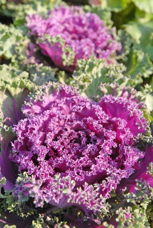 flowering kale: Close-up of flowering kale with details of veins in the leaves.  Stock Photo