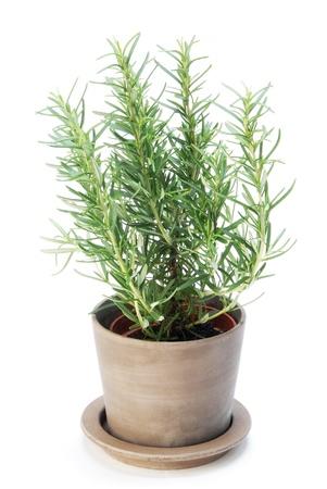 Rosemary  plant on white background photo