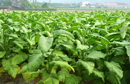 tobacco plants: Tobacco plants growing in Taiwan Stock Photo
