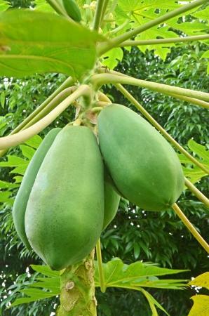 papaya tree: Green papaya growing on a tree