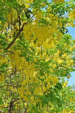 golden shower: Flowers of Golden Shower Tree bloom in summer
