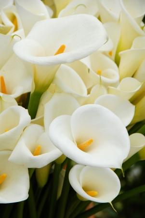 lirio blanco: Lirio de la flor que florece en primavera