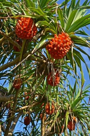 pandanus tree: Pandanus tree