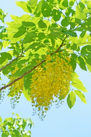 Fabaceae: Golden Shower Tree on summer