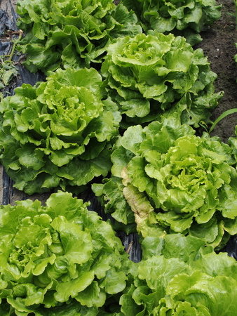 lactuca: Lettuce sativa in the field