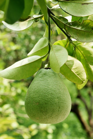pomelo: Pomelo hanging on the tree. Stock Photo