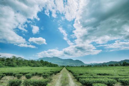 Green tea garden with cloud in Taiwan Stok Fotoğraf - 99349256