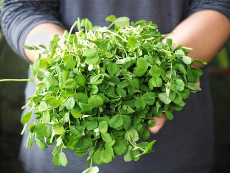 Fresh pea shoots held on man hands