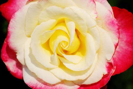Close up of rose, floral background.