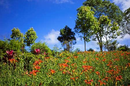 Orange daylily flower under blue sky