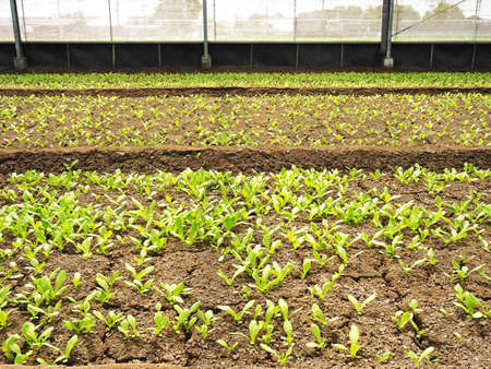 Green bok choy in the greenhouse
