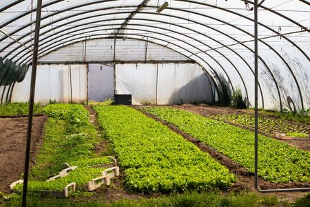 Greenhouse full of fresh lettuce growing, almost ready to be harvested