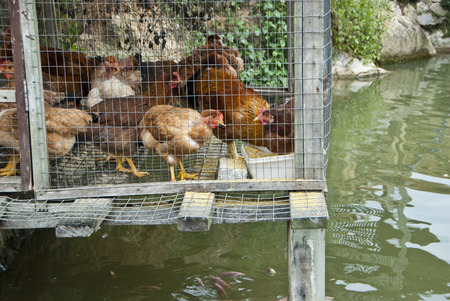 Integrated Chicken Cage above Fish Pool