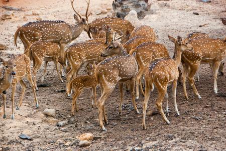 A school of deer - School of deer in the forest