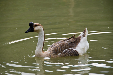 duo: Lovely Goose - Goose swimming in the lake