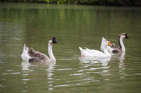 Lovely Goose - Goose swimming in the lake
