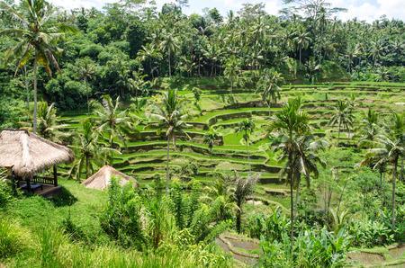 padi: Padi Terrace, Bali, Indonesia