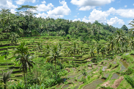 Terrest Rice field in Bali, Indonesia