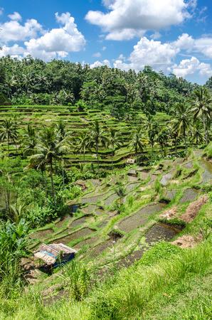 Padi Terrace, Bali, Indonesia