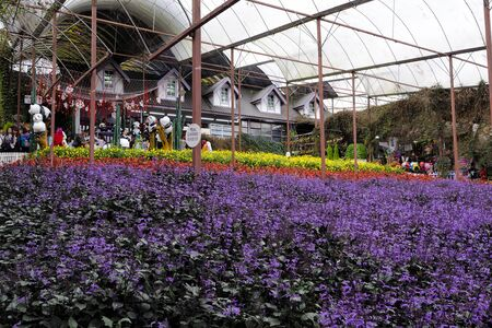 Colorful field of lavender flower species in Lavender Garden in Cameron Highland, Malaysia.