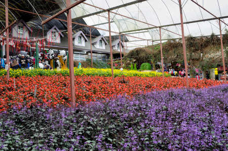 Colorful field of lavender and flower species in Lavender Garden in Cameron Highland, Malaysia. Modern greenhouse interior with numerous species of flowers Editorial