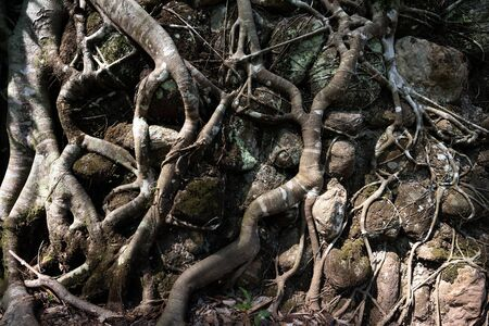 Old Tree root - Tropical tree roots at Taiping, Malaysia