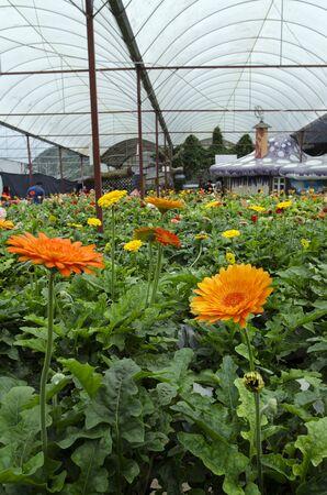 Orange Daisy Flower at Lavender Garden, Cameron Highland, Malaysia