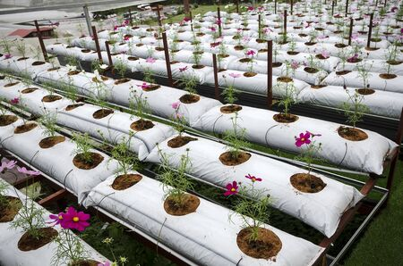Cultivation of Gerbera flowers in greenhouse in Cameron Highland, Malaysia