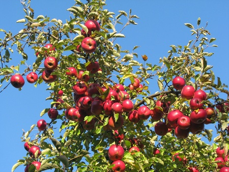 Apple tree branches loaded with red ripe apples against a vivid blue sky--natural light