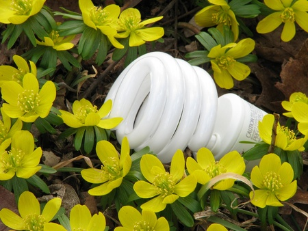 retrofit: A single compact fluorescent light bulb (CFL) in a bed of bright, sunny yellow winter aconite flowers.