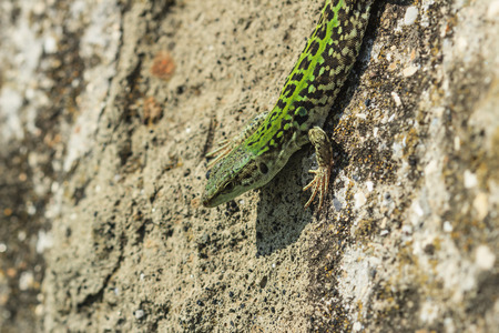 lizard on a rock in the field photo