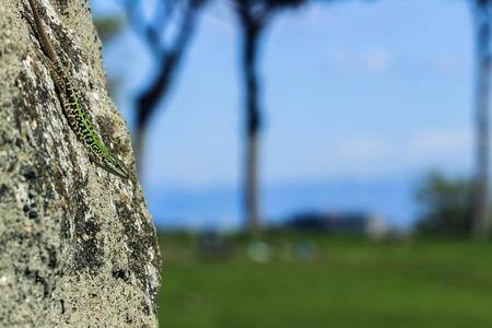 lizard in field: lagarto sobre una roca en el campo