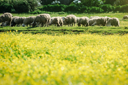 coleseed:  Field of yellow flowers and sheep Stock Photo