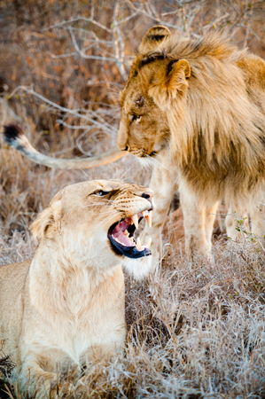 Lion and lioness couple screaming on savannah inside a South Africa private game reserve