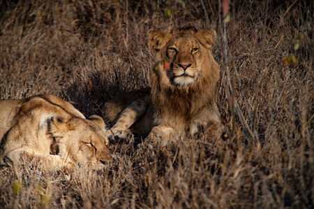 Couple of South Africa lions relaxing on the savannah. Kapama private game reserve