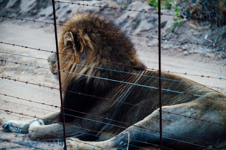 South Africa male lion beside a protection fence inside Kapama private game reserve.