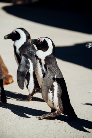 Couple of black and white penguins having fun at the ocean Boulders beach. South africa Stock fotó