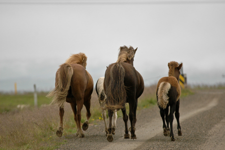 Iceland horses with nobody around staying relaxed in the countryside