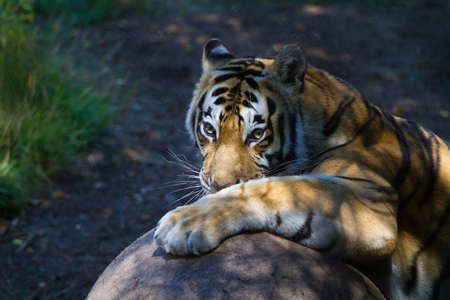 Tiger and her ball