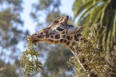Giraffe munching