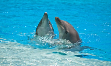 two dolphins in a dolphinarium playing and jumping out of water photo