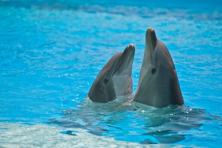 two dolphins in a dolphinarium playing and jumping out of water