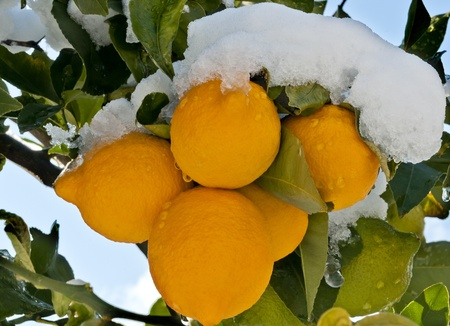 Lemon three with fruits covered by the snow