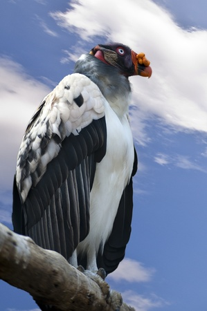 The King Vulture (Sarcoramphus papa) is a large bird found in Central and South America photo
