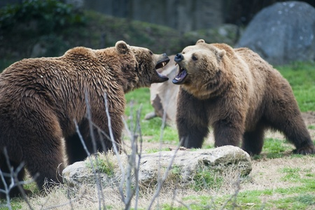two brown bears fighting for territorial ownership Stock Photo