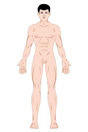 human figure: Ilustración que representa Maculino anatomía del cuerpo humano. Ideal para catálogos, información y guías de primeros auxilios