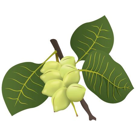 Food illustration, Kakadu plum fruit exotica Australia. Ideal for catalogs, nutritional information and institutional materials