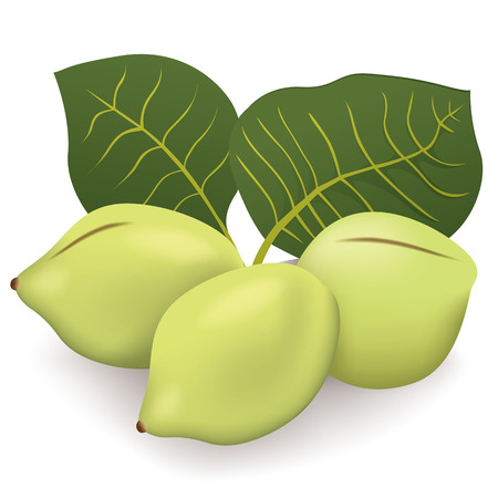 kakadu: Food illustration, Kakadu plum fruit exotica Australia. Ideal for catalogs, nutritional information and institutional materials